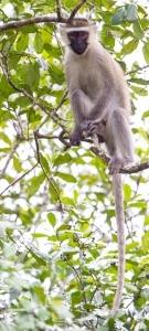 primati in uganda
