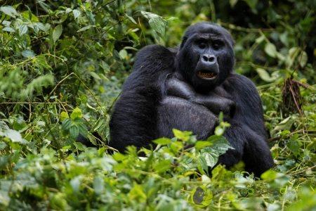 primati in uganda l