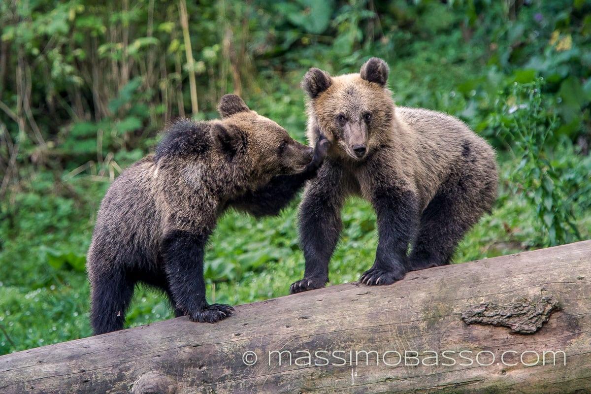 Massimo Basso orsa con cuccioli
