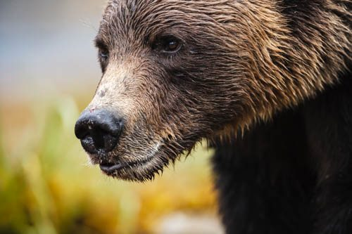 khutzeymateen il santuario degli orsi