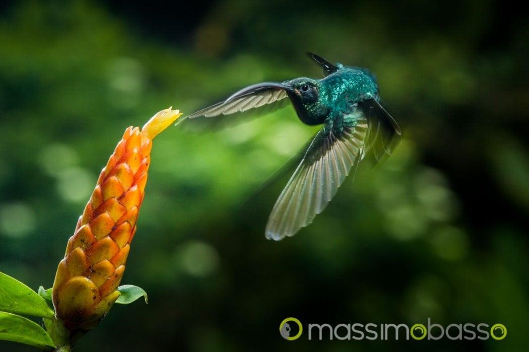 flash fotografia naturalistica colibrì costa rica colibri del costa rica colibrí costa rica hummingbirds costa rica