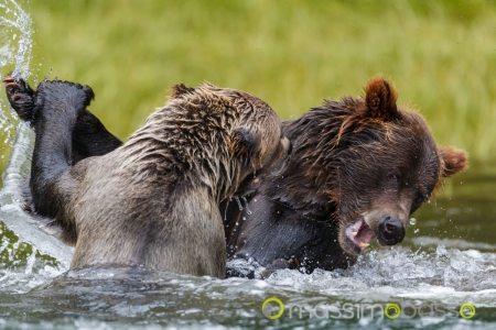 Khutzeymateen il santuario degli orsi canada