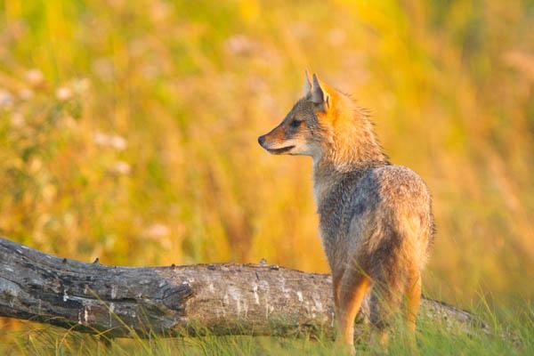 Sciacallo dorato (canis aureus): cittadino d'Europa