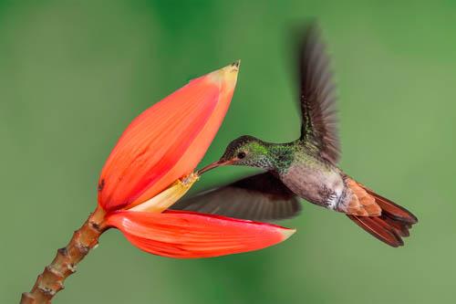 Fotografie colibrì Costa Rica-Massimo Basso-1