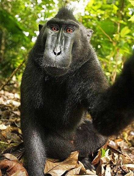 selfie macaco nero indonesia - pubblico dominio