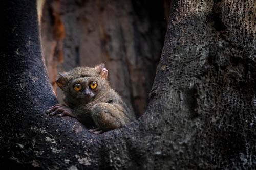 Riserva Tangkoko Macaco nero tarsio spettro