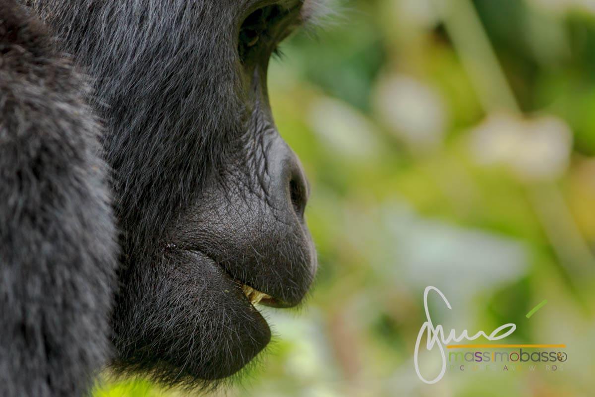 I gorilla di montagna del Parco di Bwindi in Uganda