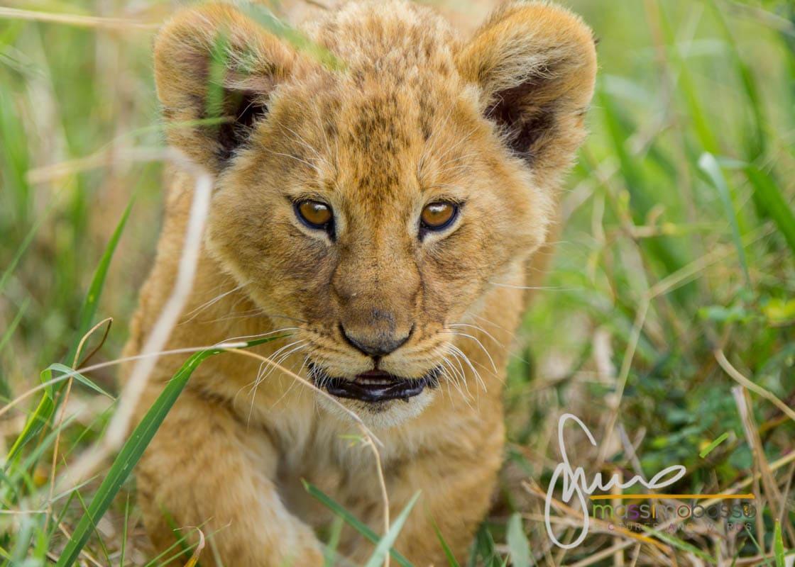 i Leoni del Serengeti e la migrazione degli gnu