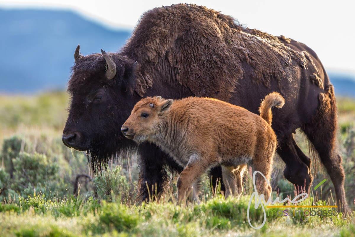 Bisonti nelle praterie di Yellowstone