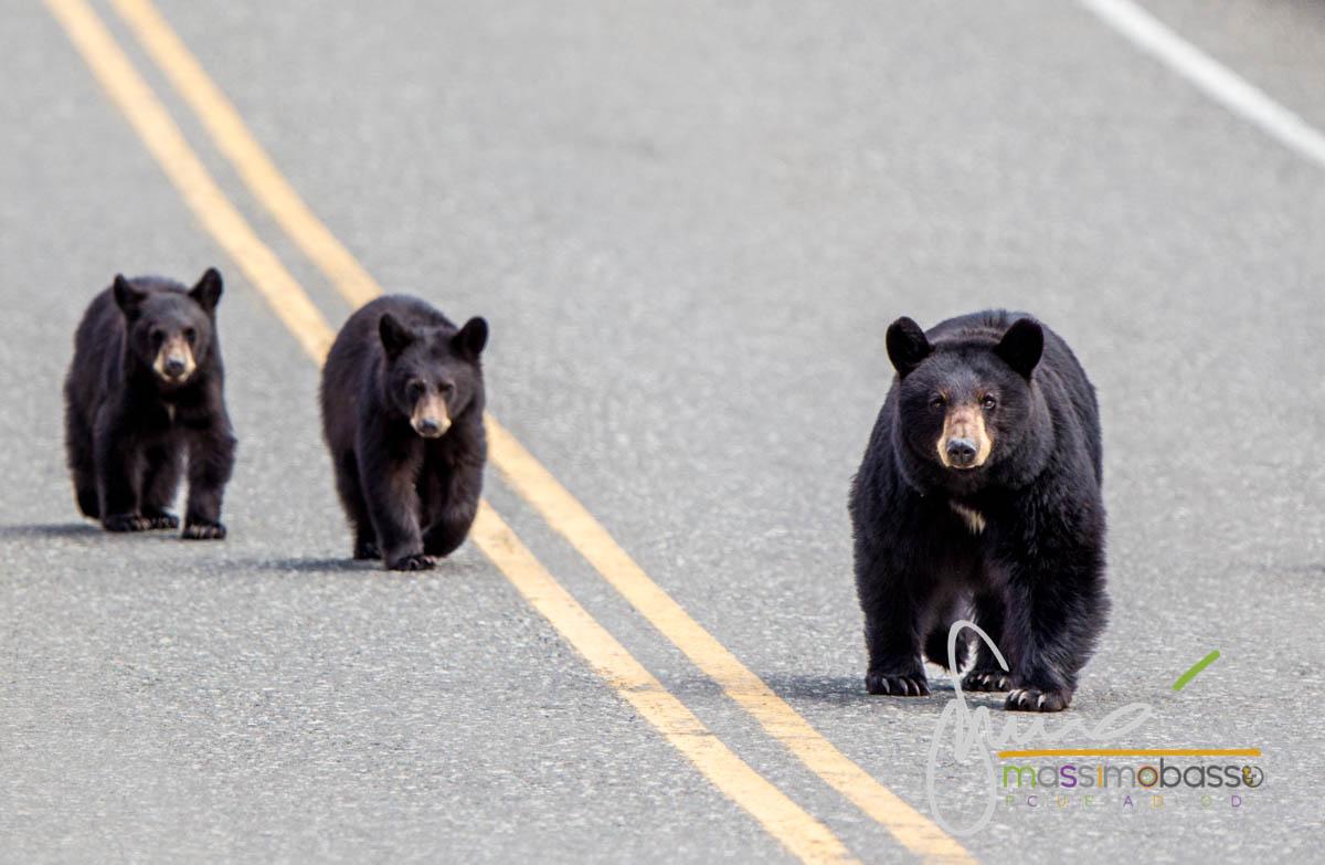 Orsi che attraversano la strada senza paura..