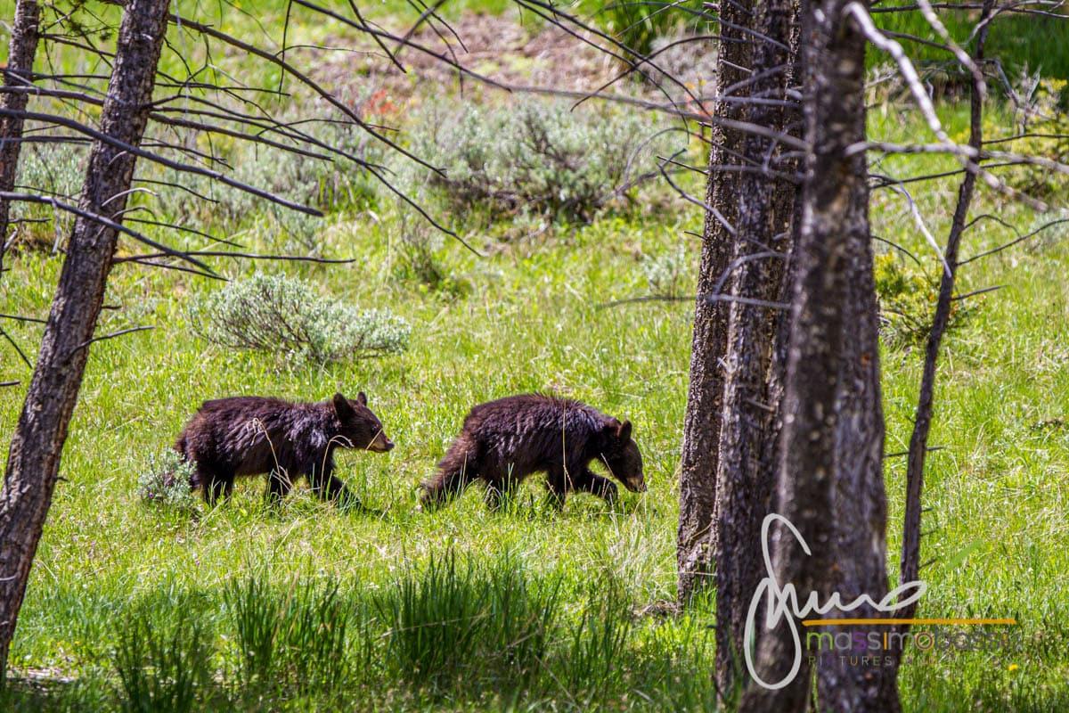 Cuccioli di orso nella zona di Roosvelt - Yellowstone