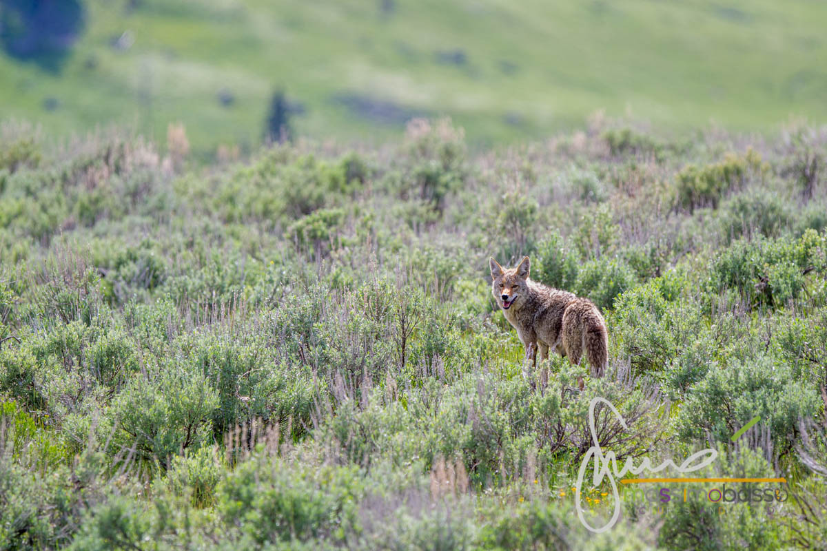 Coyote nella Lamar Valley