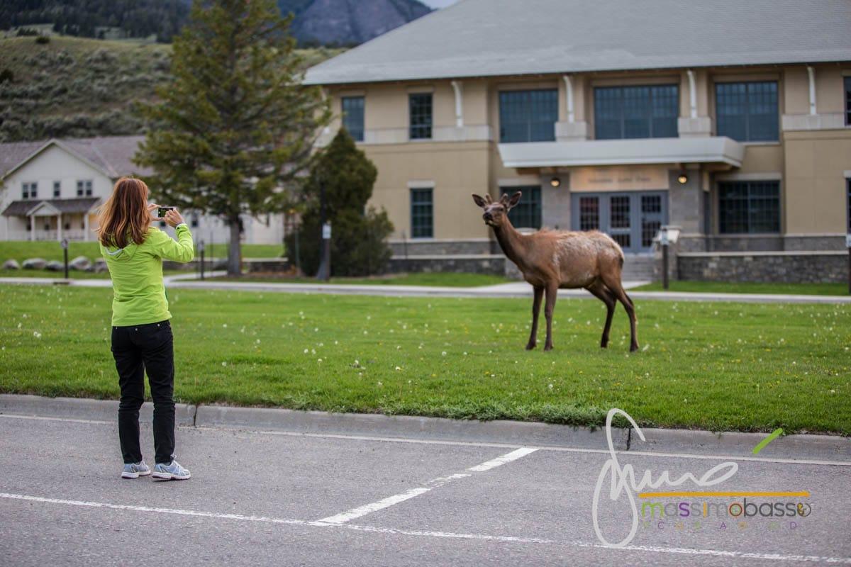 Fotografare un cervo nel parcheggio di Mammoth a Yellowstone