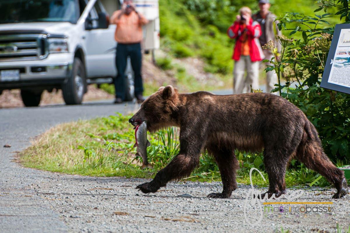 Haines - aquile e orsi durante la vostra crociera in Alaska