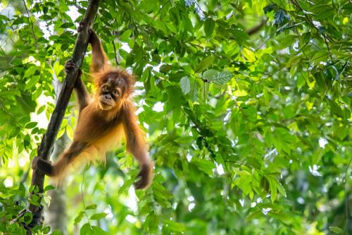 Il trekking degli orangutan delle foreste di Bukit Lawang